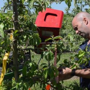 Ph.D. candidate Paul O'Connor examining apple tree fruitlets.